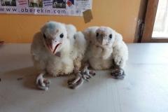 crías de halcones