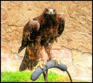 Águila Rapaz