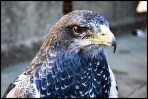 Águila Escudada